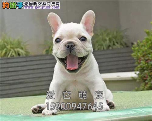 重庆最大犬舍法牛新生自然尾全国发货