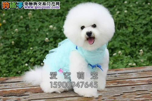重庆比熊高品相韩系犬带证书全国发货