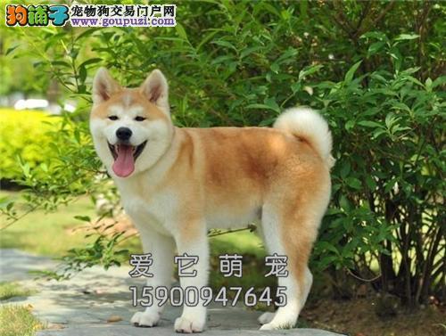 重庆家养秋田纯种健康日系幼犬全国发货