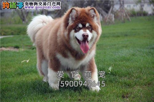 重庆哪里有阿拉斯加低价出售小犬全国发货