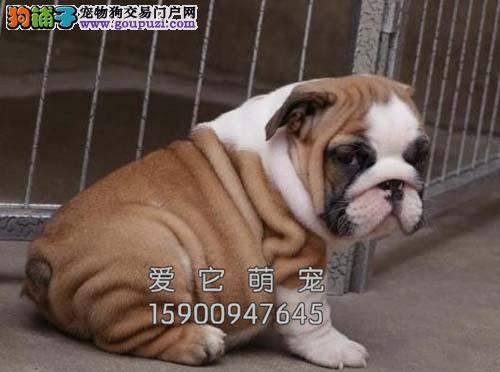 重庆最大犬舍英牛赛级高品质全国发货