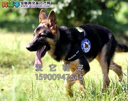 重庆德牧纯种出售黑脸幼犬全国发货