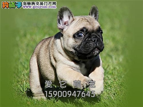 重庆犬舍法牛漂亮憨厚双血统全国发货