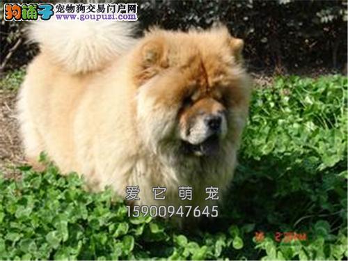 江西松狮听话胖胖幼犬待售全国发货