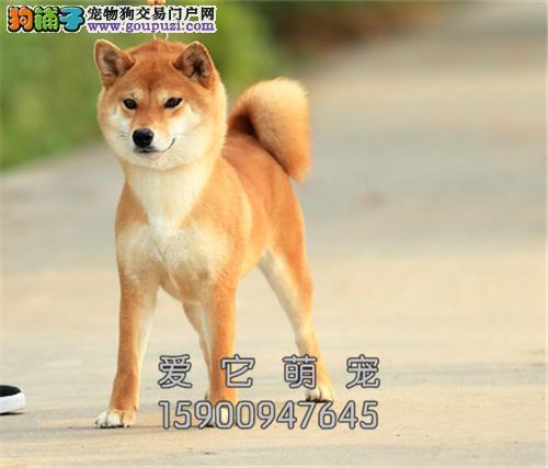 江西专业繁殖柴犬精品帅气小全国发货