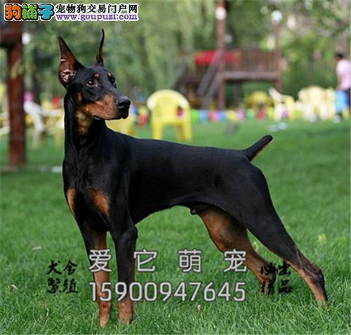 贵州杜宾好养听话小犬幼犬待售全国发货