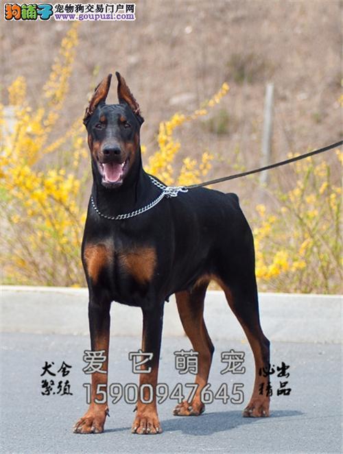 贵州犬舍杜宾聪明出售灵性找新家全国发货
