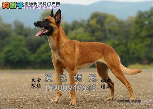 贵州哪里有马犬精品全国包运全国发货