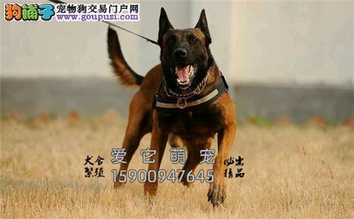 广东马犬专业繁殖低价出售全国发货