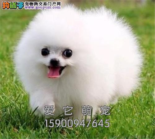 广东博美低价出售茶杯犬全国包运全国发货