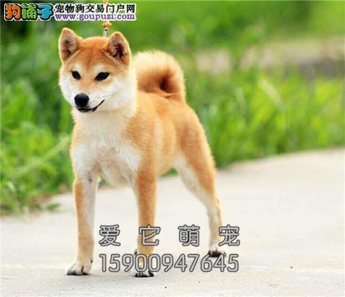 广东家养柴犬新生听话三个月狗狗全国发货