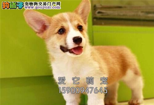 广东犬舍柯基聪明短腿犬双血统全国发货