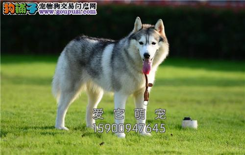 广东最大犬舍哈士奇顶级新生蓝眼全国发货