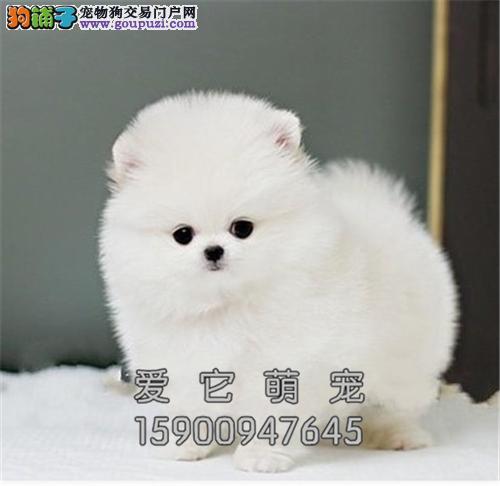 广东博美漂亮小白雪公主公母均有全国发货
