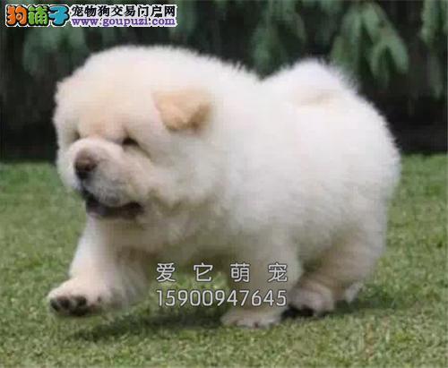 广东哪里有松狮精品肉嘴小奶狗全国发货