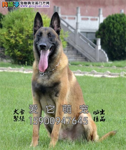 广东马犬找新家包纯种全国包运全国发货