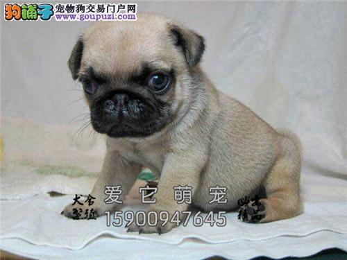 广东出售巴哥高品相幼犬下单有礼全国发货
