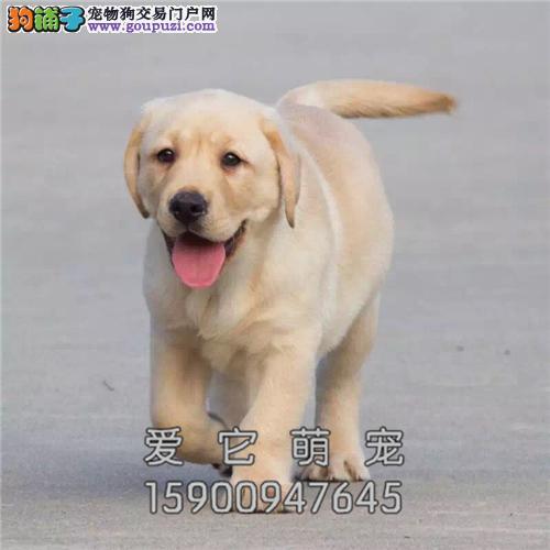 广东最大犬舍拉布拉多聪明犬全国发货