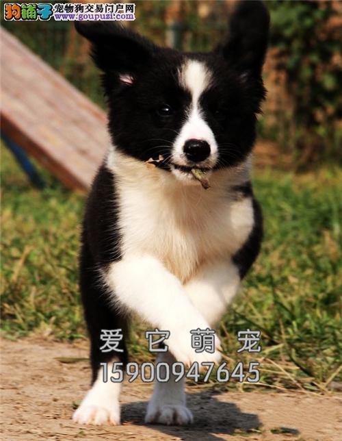 广东边牧高品相幼犬全国包运全国发货