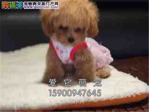 广东专业繁殖泰迪漂亮袖珍全国发货