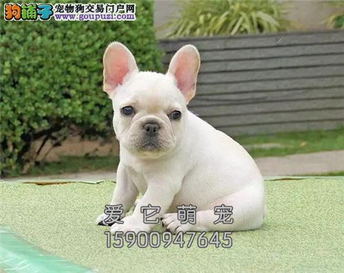 广东法牛聪明赛级自然尾包纯种全国发货