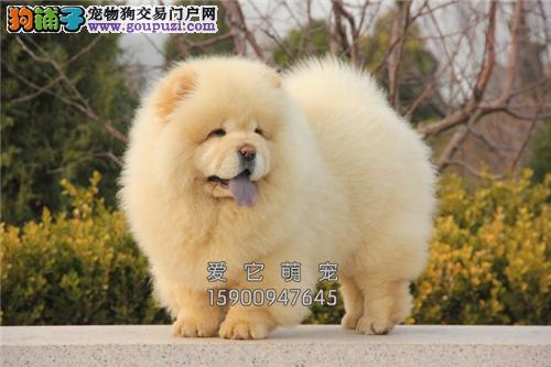 浙江专业繁殖松狮出售健康奶油色全国发货
