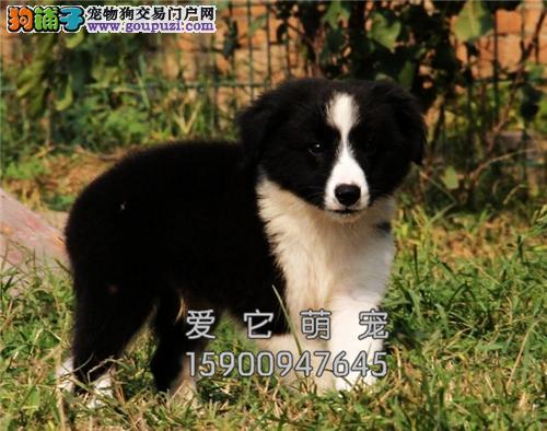 浙江最大犬舍边牧小幼犬双血统全国发货