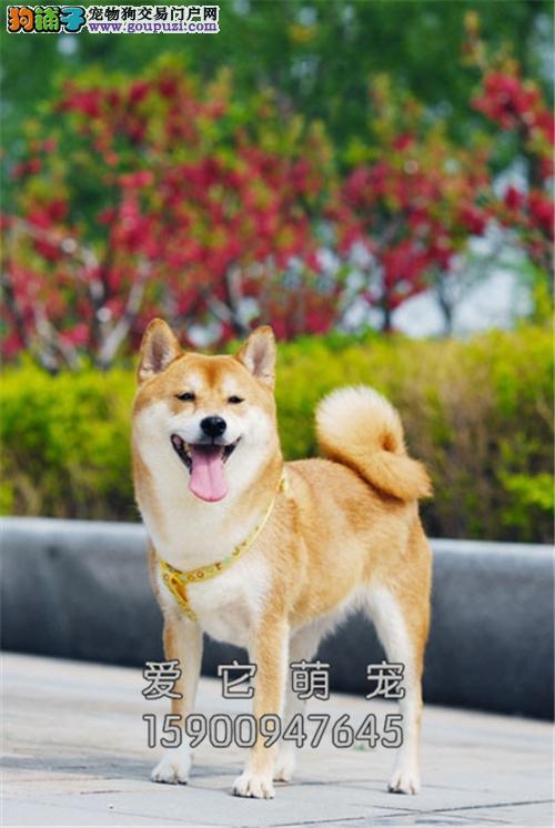 浙江柴犬自家养纯种微笑犬全国发货