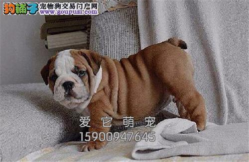 浙江家养英牛骨量足出售幼犬待售全国发货