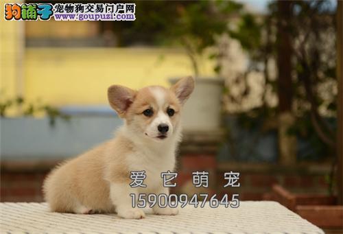 陕西犬舍柯基聪明乖巧犬保健康全国发货