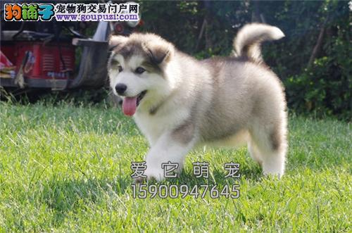 陕西家养阿拉斯加听话新生粘人犬全国发货