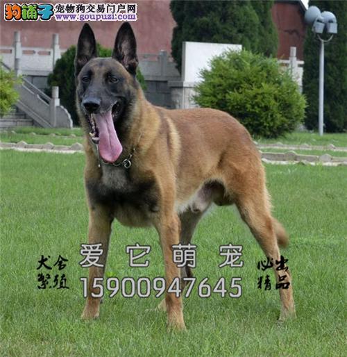 陕西哪里有马犬纯种漂亮幼犬待售全国发货