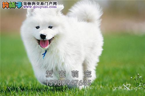 陕西萨摩耶出售微笑狗狗送用品全国发货