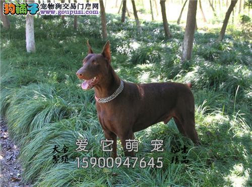 陕西家养杜宾漂亮自家养威猛犬全国发货