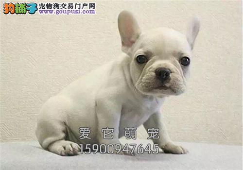 陕西最大犬舍法牛高品质极品活泼全国发货