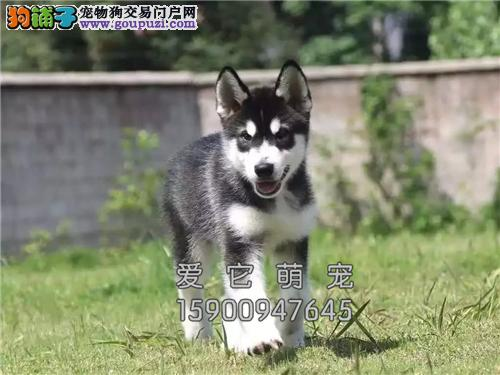陕西哈士奇高品质蓝眼幼犬待售全国发货