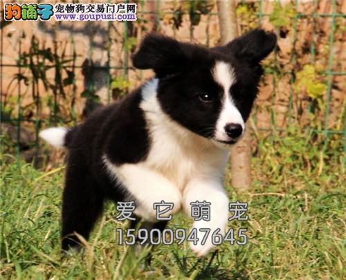 陕西家养边牧犬送用品带证书全国发货
