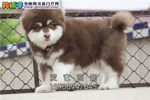 安徽专业繁殖阿拉斯加粘人幼犬全国发货