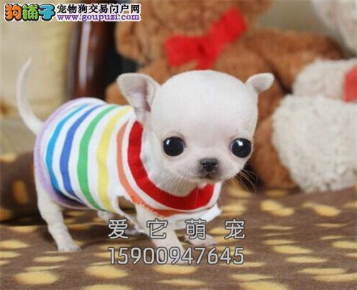 安徽吉娃娃自家养出售小包纯种全国发货