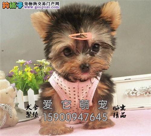 安徽正规犬舍约克夏可爱小狗狗全国发货
