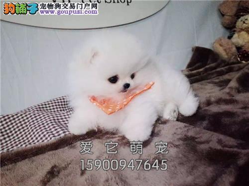 河南最大犬舍博美好养茶杯保健康全国发货