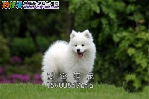 吉林犬舍萨摩耶高品质阳光犬全国发货