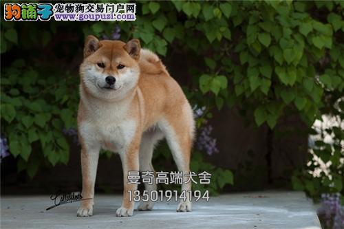 湖北秋田新生日系温顺全国包运全国发货