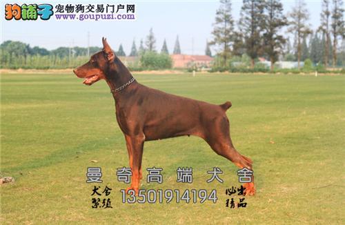 广东杜宾德系幼犬全国包运带证书全国发货