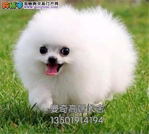 广东犬舍博美聪明超萌犬包纯种全国发货