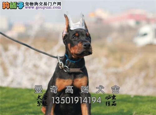 上海哪里有杜宾新生德系幼犬待售全国发货