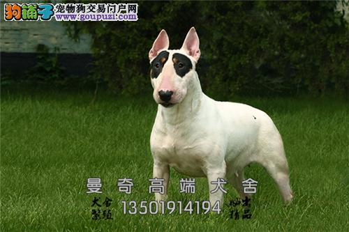 广东牛头梗骨量足帅气公母均有全国发货