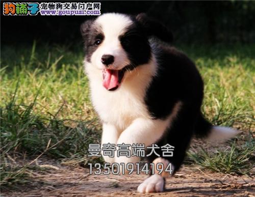 广东边牧乖巧顶级高智商全国包运全国发货