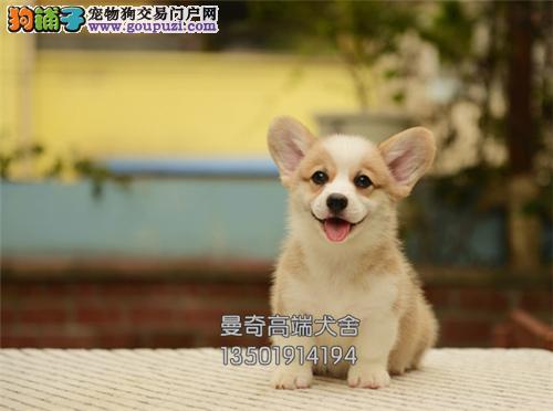 广东家养柯基纯种健康威尔士犬全国发货