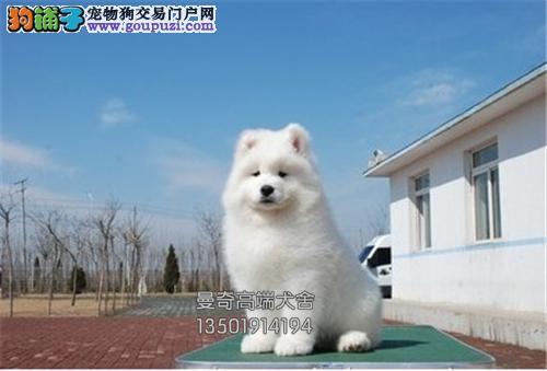广东正规犬舍萨摩耶赛级犬全国发货